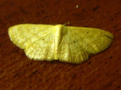 Yellow moth sighted on 21 Jul 2011, 1.05am