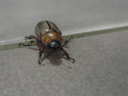 Beetle sighted on 6 Aug 2011, 12.17am