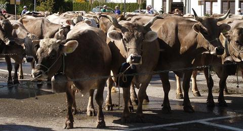 Cow market