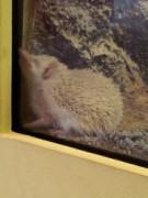 Hedgehogs in seemingly awkward sleeping position