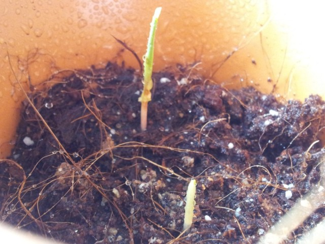 Second sprout appeared