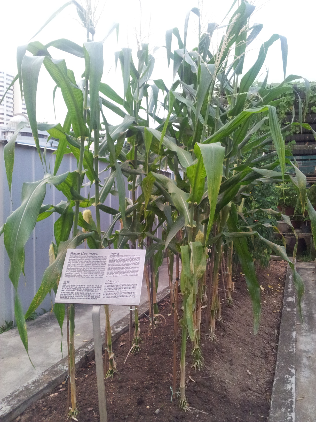 how to grow seed corn