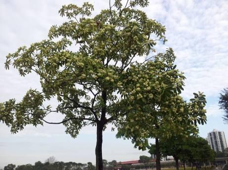 Pulai trees (Alstonia scholaris)