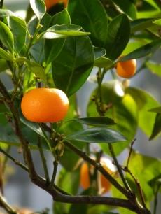 mandarinorange